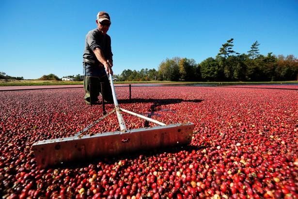 A worker harvests cranberriesin Carver, Massachusetts.