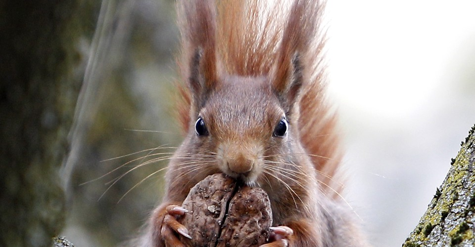Surprise! British Red Squirrels Carry Leprosy  - The Atlantic