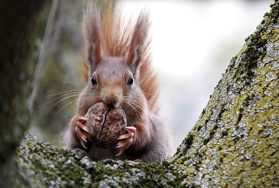 Surprise British Red Squirrels Carry Leprosy The Atlantic