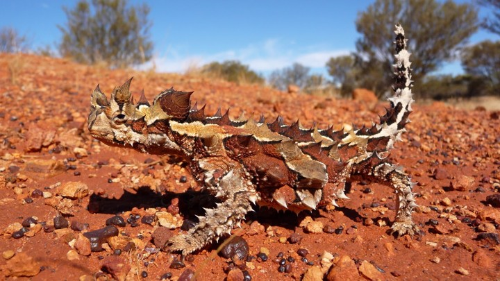 Image result for thorny devil
