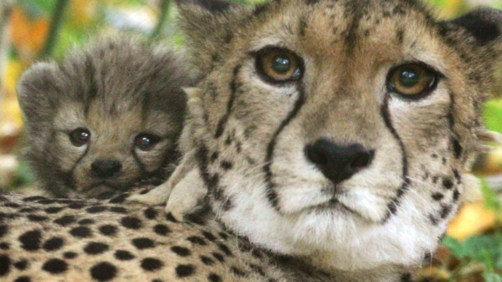 half the world s cheetahs will be gone in 15 years the atlantic