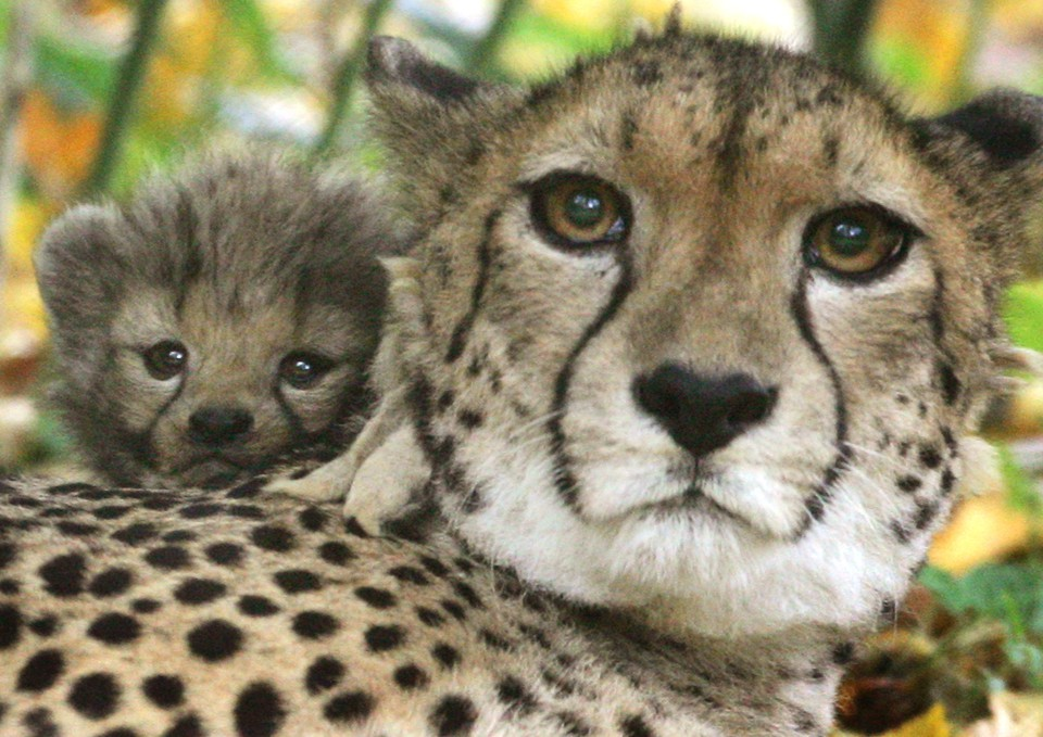Half the Worlds Cheetahs Will Be Gone in 15 Years The Atlantic