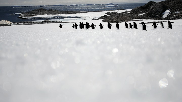 Adelie penguins walk along ice at Cape Denison, Commonwealth Bay, East Antarctica.