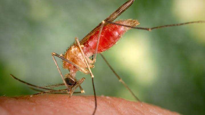 The Parasite That Lures Mosquitos To Humans The Atlantic