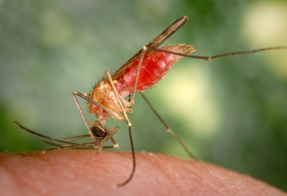Female mosquito landed on human skin