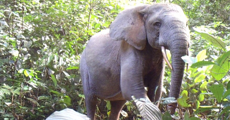Africas Other Elephant Is Fading Fast The Atlantic