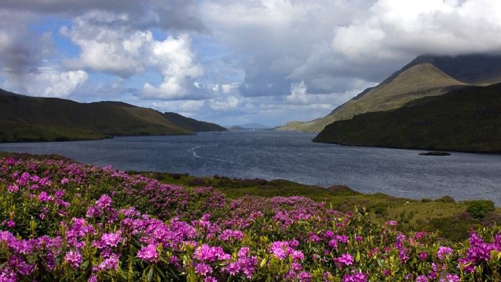 View of Killary Fjord with fields of rhododendrons in foreground