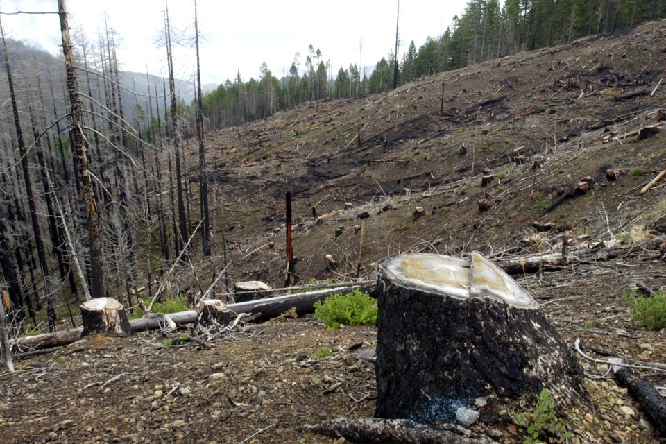 Stumps from the salvage logging of trees burned in a forest fire in Oregon