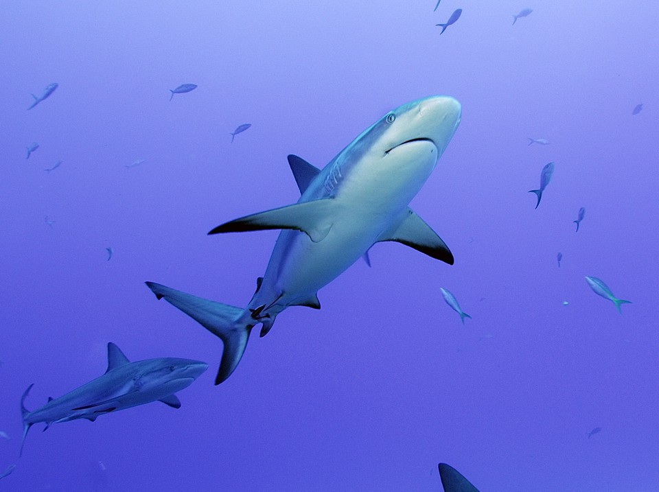 A grey reef shark patrols a coral reef.