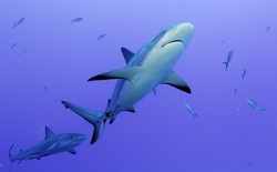 A grey reef shark patrols a coral reef.