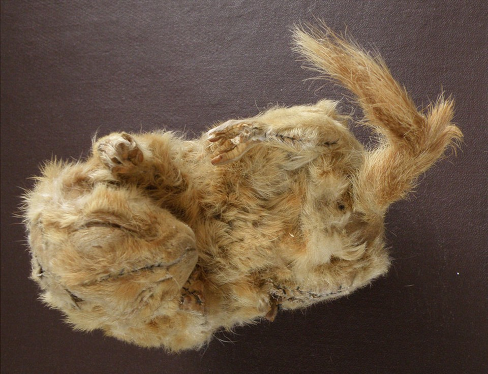 A 30,00-year-old mummified squirrel carcass