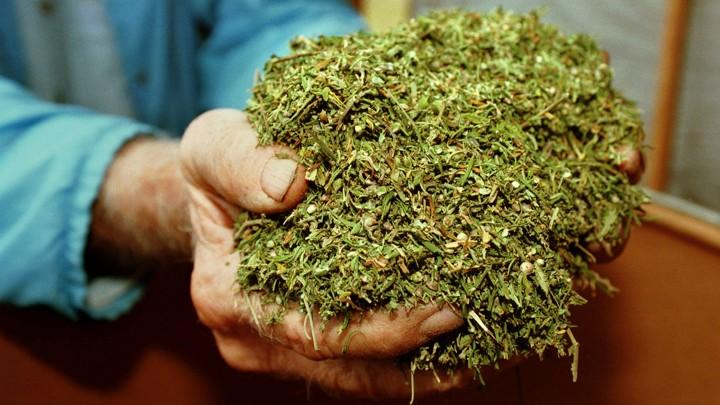 release date: e9833 d0c2a Cultivated marijuana at the University of MississippiRobert Jordan   AP