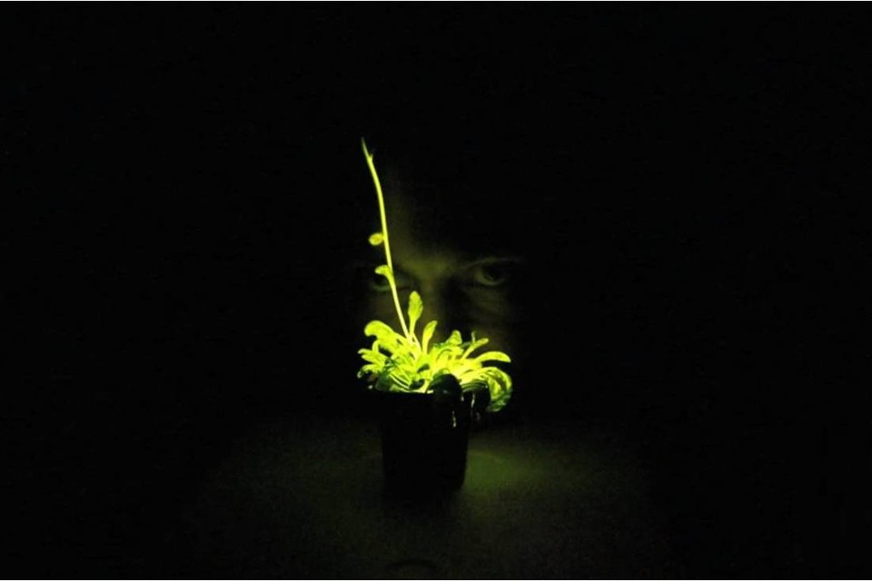A long exposure of a genetically modified glowing plant, which makes it appear brighter than it actually is.