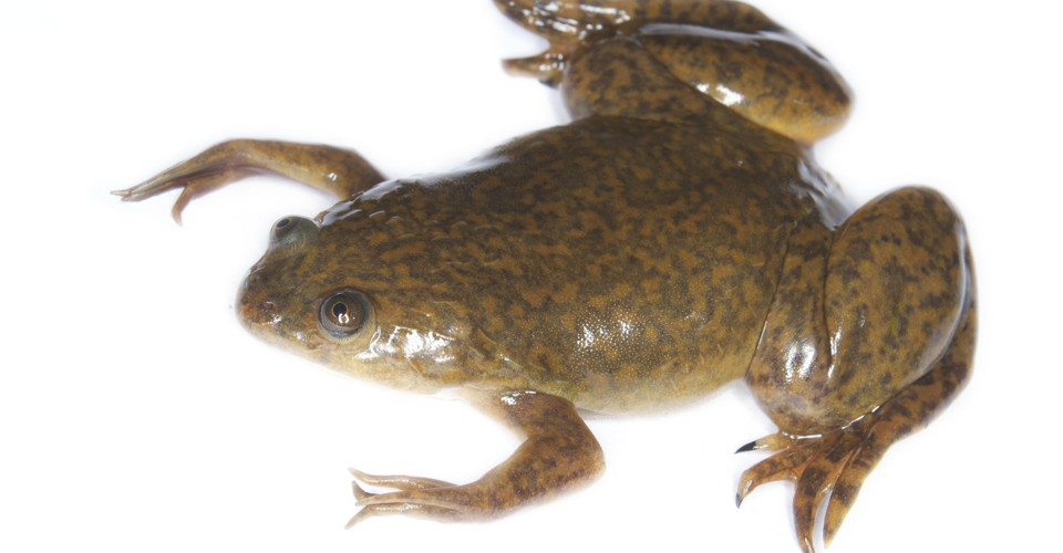 How a Frog Became the First Mainstream Pregnancy Test - The