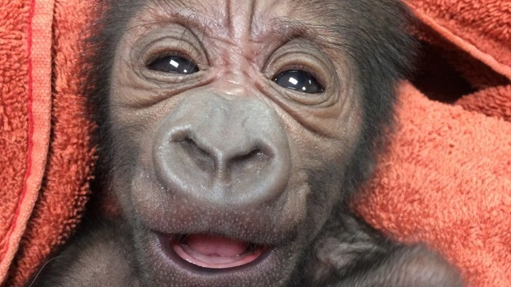 How a Philly Ob-Gyn Ended Up Delivering a Baby Gorilla - The