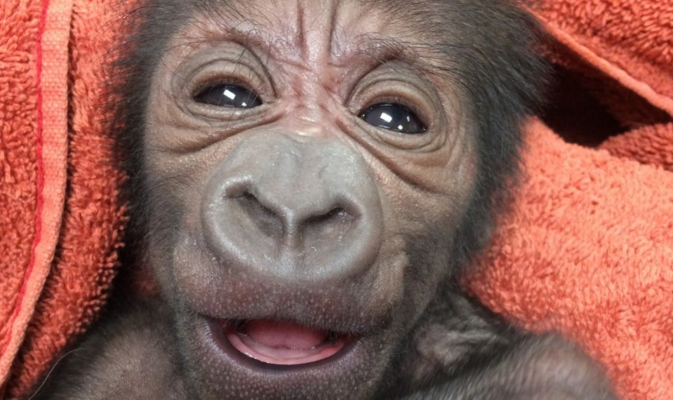 how a philly ob gyn ended up delivering a baby gorilla the atlantic