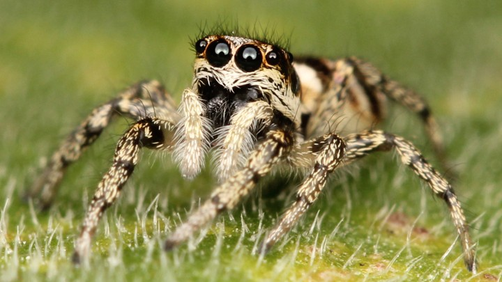 Jumping Spiders Can See The Moon The Atlantic