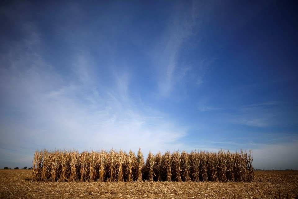 Rows of corn wait to be harvested in a field in Minooka, Illinois.