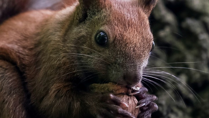 how often do squirrels attack people the atlantic