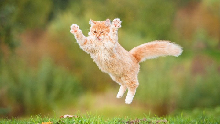 Cat jumps in air