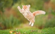 Cat jumps in air