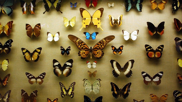 Butterflies are displayed in a case at a new exhibition at the American Museum of Natural History.