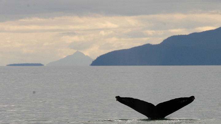 A whale tail sticks out of a body of water with mountains in the background.
