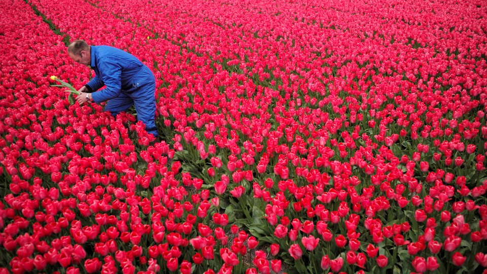 A man dressed in blue picks a red and yellow tulip from a field of red tulips.