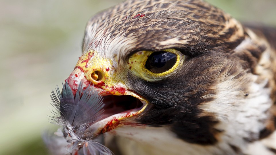 A peregrine falcon with a feather in its bloody beak at the Mariscal Sucre Airport in Quito