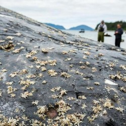 Light-colored whale lice on the body of a gray humpback whale with people standing on a beach in the background