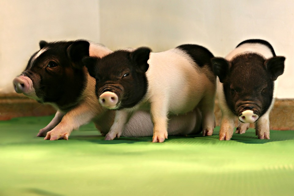 Three black and white piglets