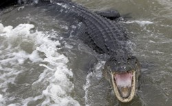 An alligator opens its mouth in floodwaters.