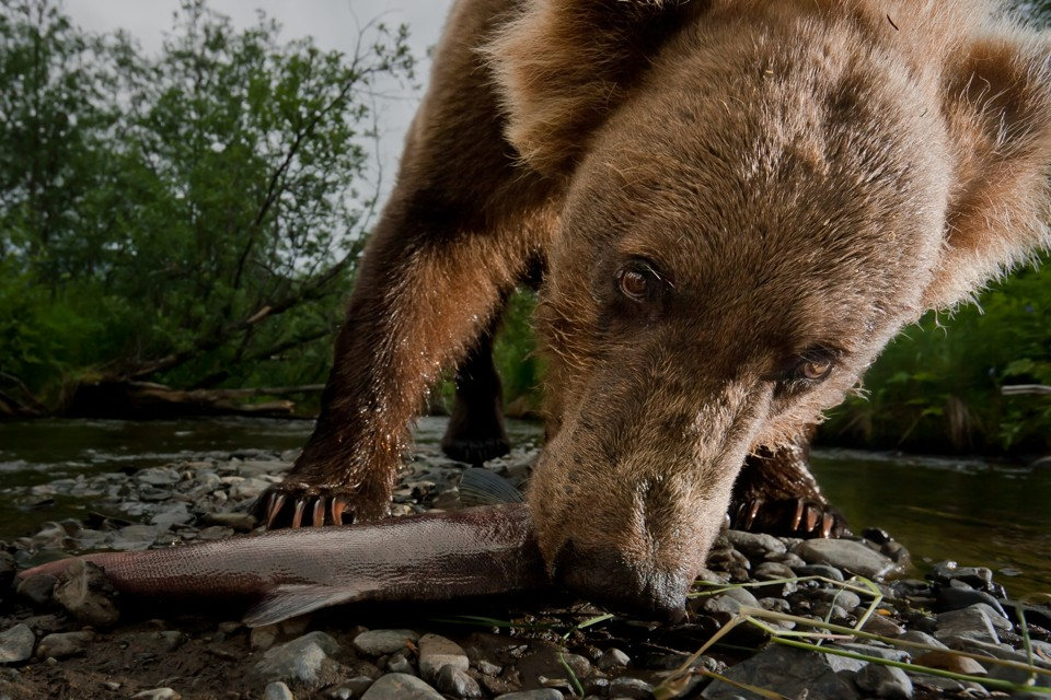 How Climate Change Canceled the Grizzly Salmon Run