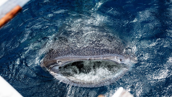 A whale shark surfaces