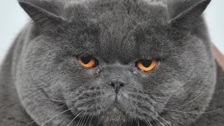 A fat gray cat