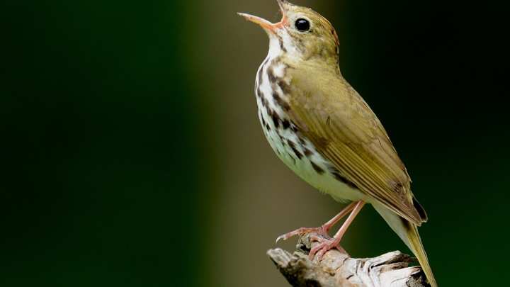 A singing ovenbird on a branch