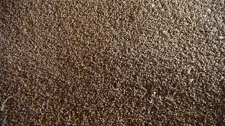 A zoomed-out view of a large pile of soybeans