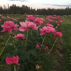 Pink peonies foregrounded alongside a grassy path