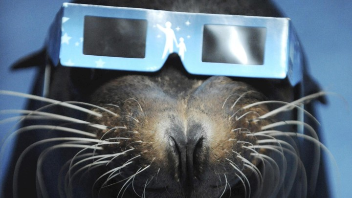 A sea lion wears eclipse glasses.