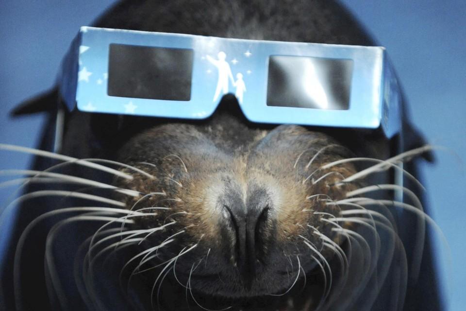 A sea lion wears eclipse glasses.