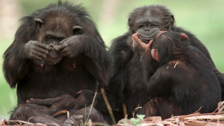 Chimpanzees play together at Miami's Metro Zoo