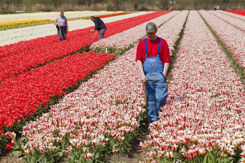 Farmworkers work in Dutch tulip fields