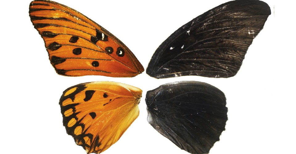 Scientists Can Now Repaint Butterfly Wings - The Atlantic