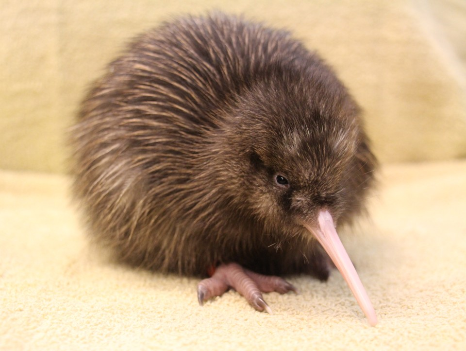 A five-day-old kiwi chick