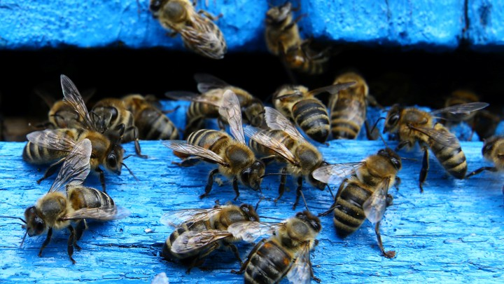 Bees on a blue fence