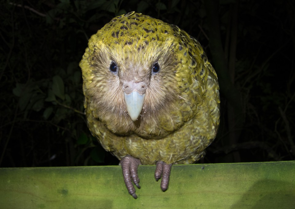 A kakapo looks straight into the camera.