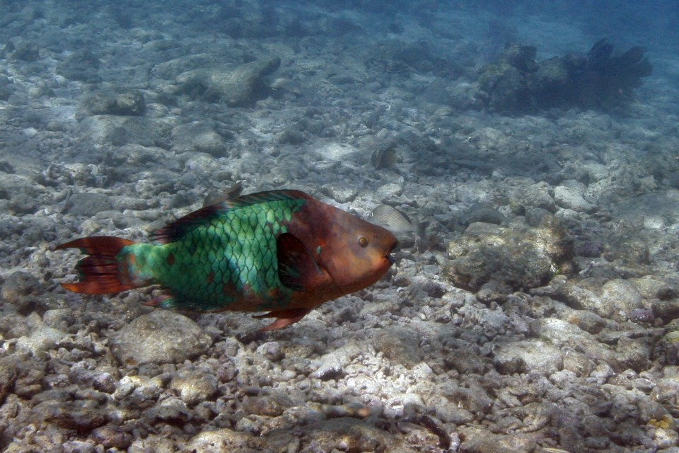 A parrotfish swims over a dead coral reef.