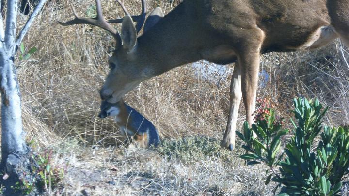 A buck licks the head of a small island fox in a grass clearing
