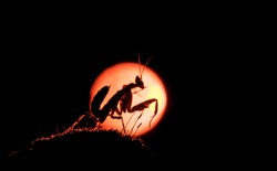 A silhouette of a praying mantis