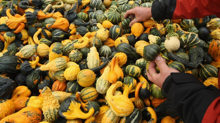 Hands paw through a giant pile of decorative gourds